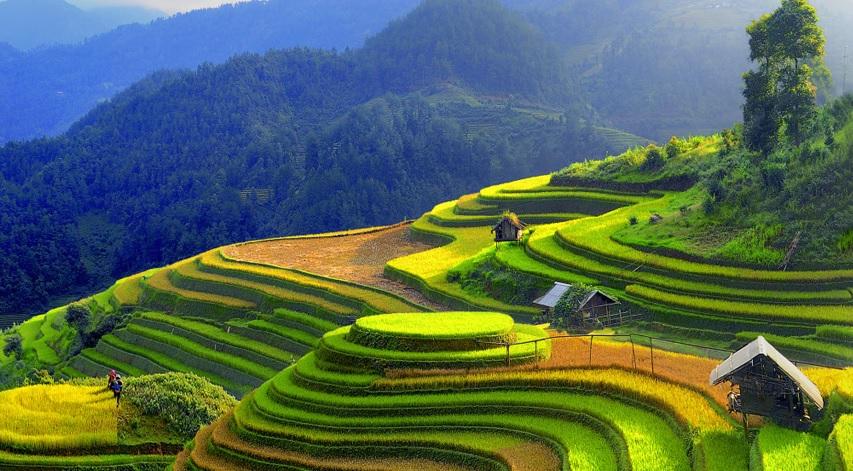 vietnam pirinç tarlaları